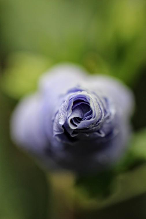 Blaue Blüte Makro
