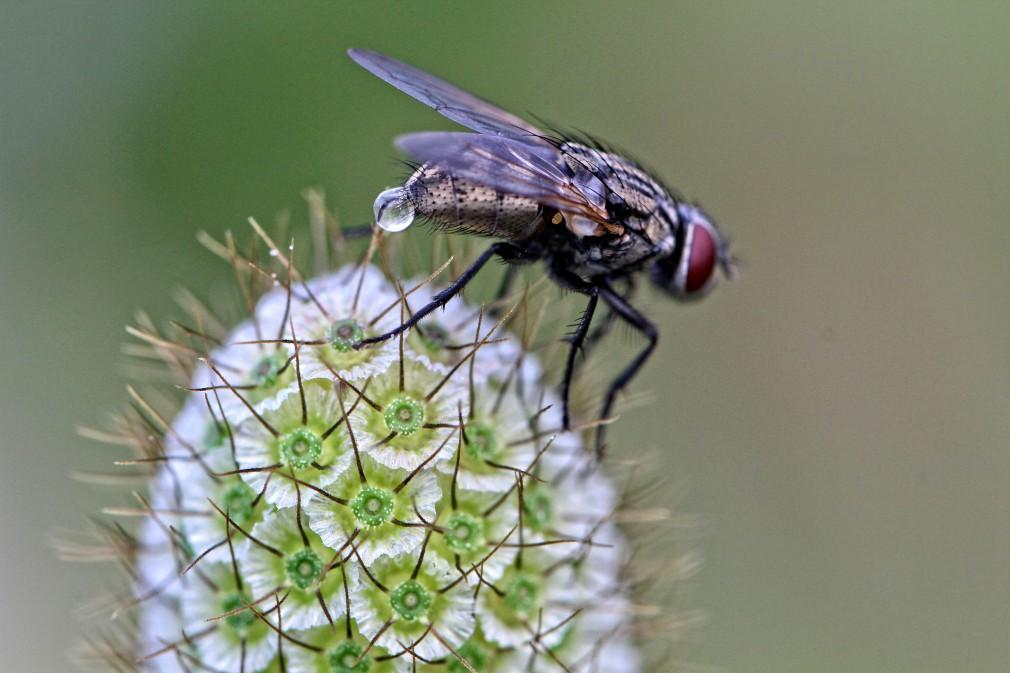 Fliege auf Blüte Makro
