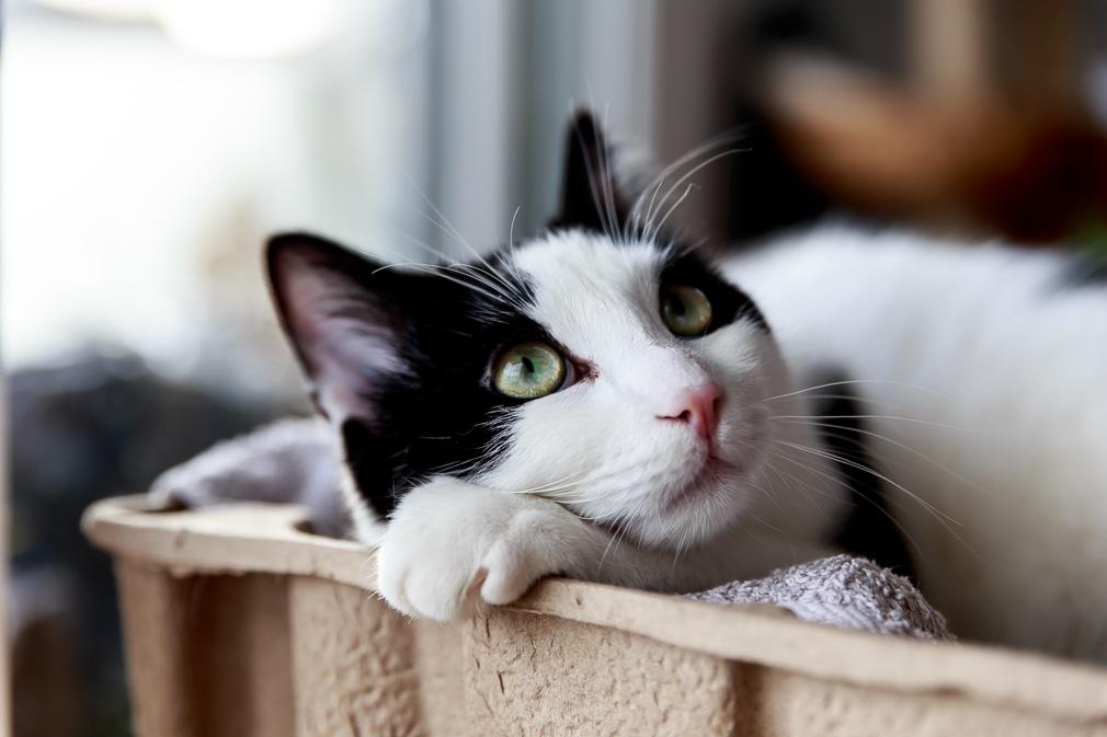 Katze Pepper beim Chillen im Karton