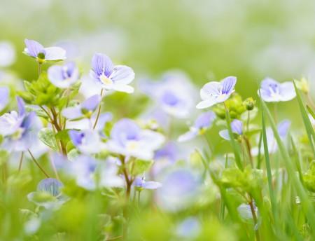 Makrofotografie: Aufnahme der Pflanze Ehrenpreis mit ihren kleinen blauen Blüten