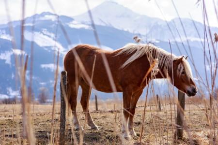 Tierfotografie: Aufnahme eines Haflingers auf einer Weide mit Blick auf die Alpen im Salzburger Land