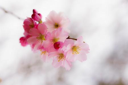 Blumenfotografie: Aufnahme einer zarten Kirschbaumblüte im Frühling
