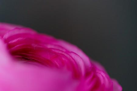 Makrofotografie: Nahaufnahme einer pinkfarbenen Ranunkel