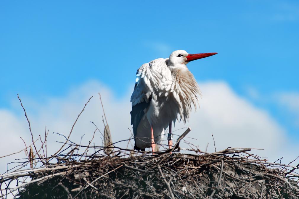Tierfotografie: Aufnahme eines Storches in seinem Nest in der Storchenstation Möhlin