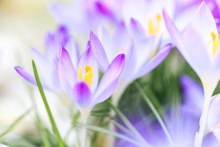 Makrofotografie: Aufnahme von lilafarbenen Krokussen im hellen Sonnenlicht