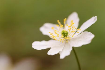 Blumenfotografie: Aufnahme eines Buschwindröschens mit einem grünen Hintergrund