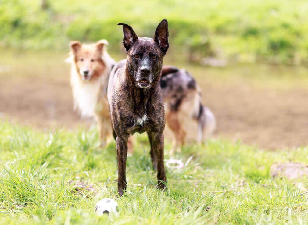 Tierfotografie: Aufnahme des Mischlingsrüden Corbi