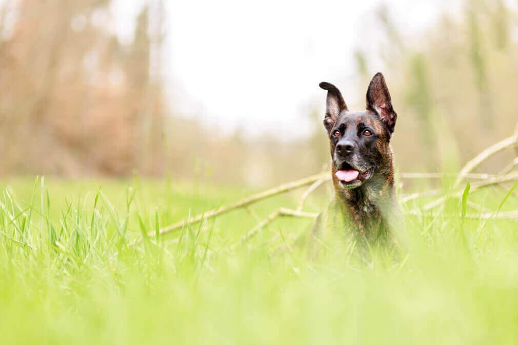 Tierfotografie: Aufnahme des Mischlingsrüden Corbi im Gras getarnt