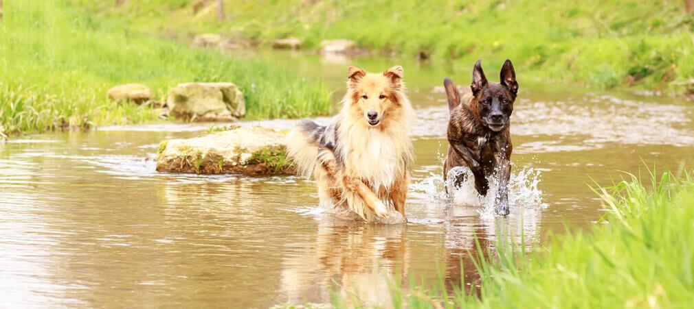 Tierfotografie: Aufnahme von Corby und Maggie beim Sprinten im Wasser in Möhlin