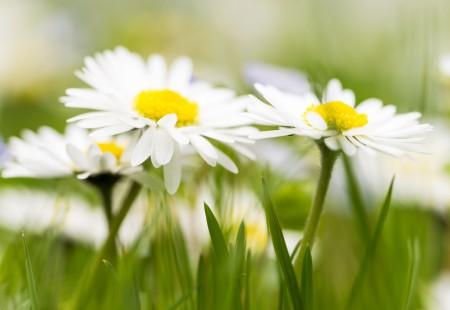 Blumenfotografie: Aufnahme von Gänseblümchen auf einer Wiese im Wenkenpark bei Basel