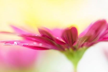 Blumenfotografie: Aufnahme eines Kapkörbchens