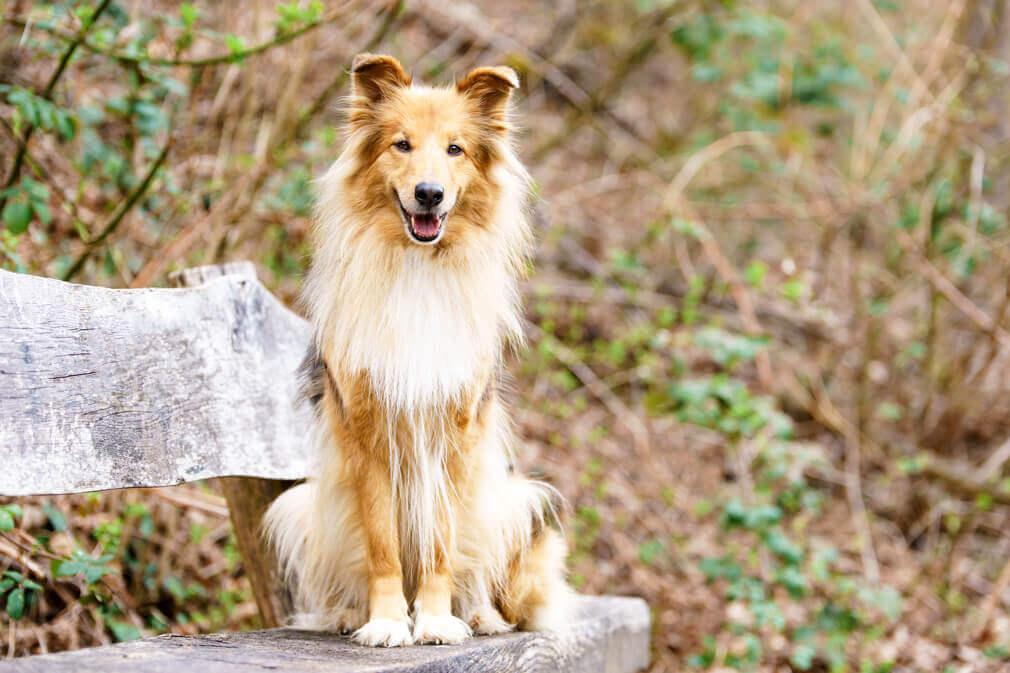 Tierfotografie: Aufnahme der Colliemischlingshündin Maggie auf einer Bank