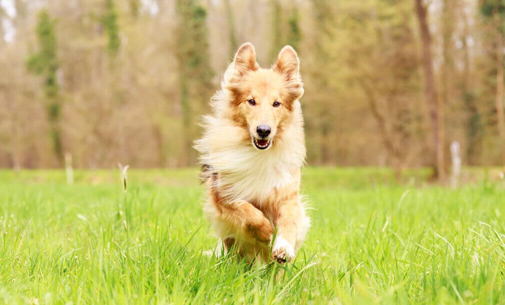 Tierfotografie: Aufnahme der Colliemischlingshündin Maggie beim Rennen durchs Gras