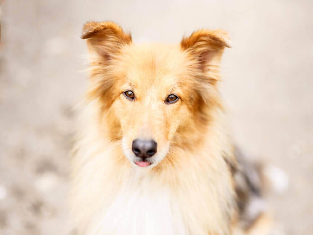 Tierfotografie: Aufnahme der Colliemischlingshündin Maggie