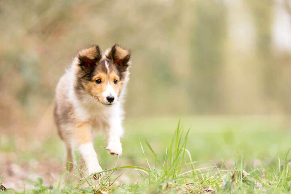 Tierfotografie: Fotoshooting mit Malia, dem Sheltiewelpen, rennend über eine Wiese
