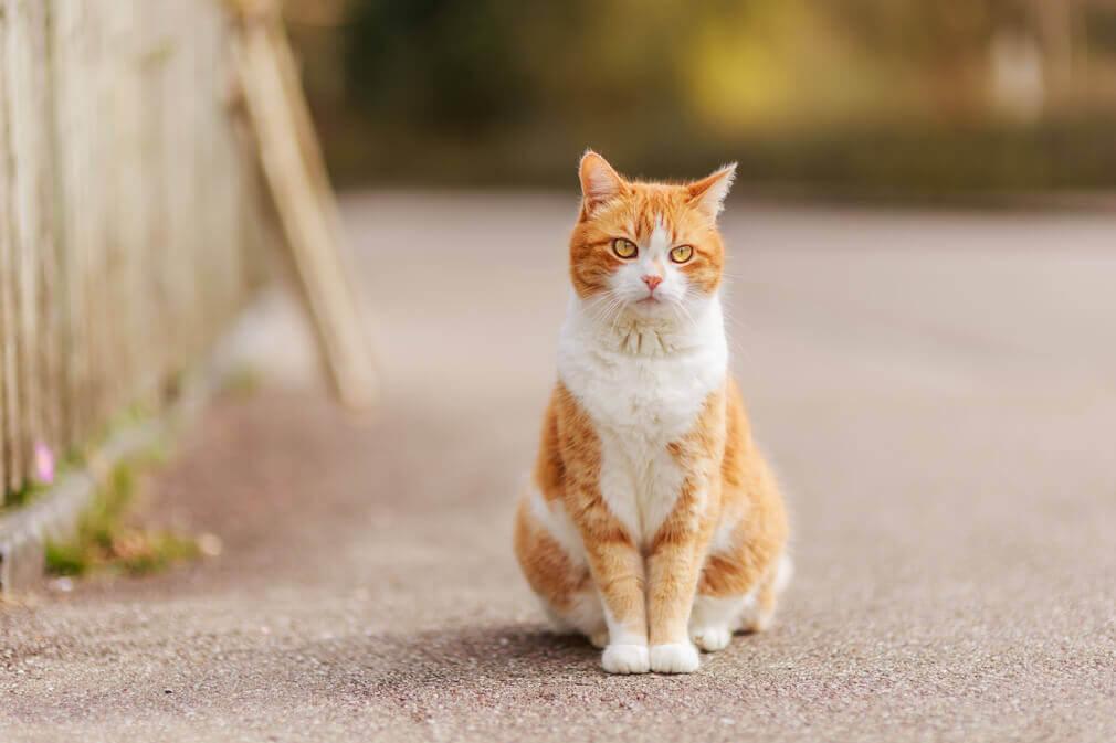 Tierfotografie: Aufnahme einer orange-weissen Katze in einer Wohngegend