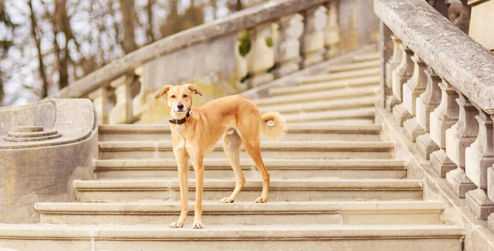 Tierfotografie in Basel: Aufnahme unseres Windhundmischlings Safran auf einer Treppe in der Nähe des Wenkenparks in Riehen