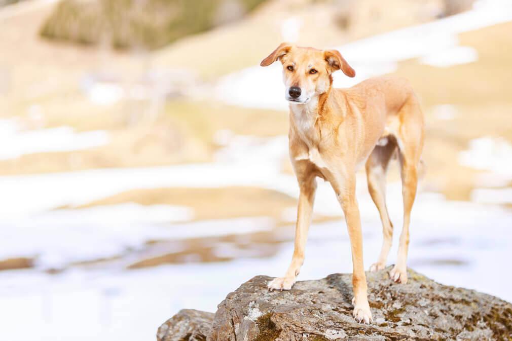 Tierfotografie: Aufnahme unseres Windhundmischlings Safran auf einem Stein