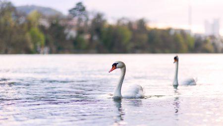 Tierfotografie: Aufnahme eines Schwanenpaares auf dem Rhein in der Nähe von Basel