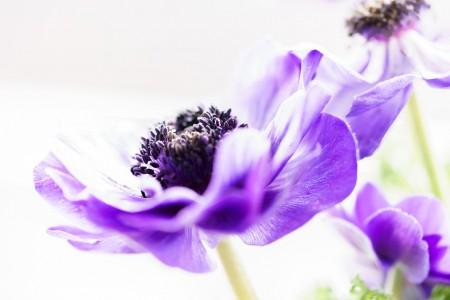 Blumenfotografie: Aufnahme einer lilafarbenen Anemone