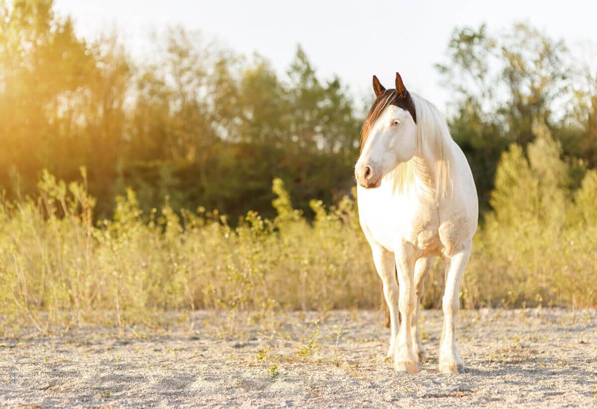 Pferdefotografie rund um Basel: Portraitaufnahme des Tinkermixhengstes Cyrano