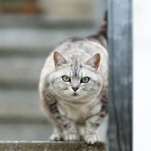 Tierfotografie rund um Basel und Möhlin: Aufnahme einer Silver Tabby Katze auf einer Treppe