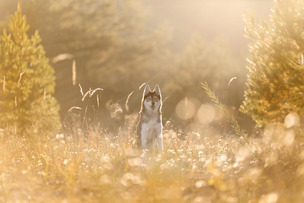 Tierfotografie rund um Basel: Fotoshooting mit Mokka einer Huskyhündin