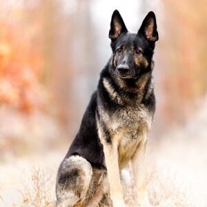 Tiefotoshooting mit einem ganz tollen deutsch-amerikanischem Schäferhund