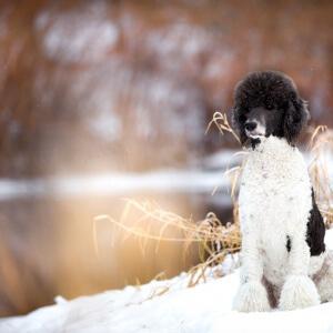 Ein Königspudel im Schnee fotografiert