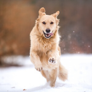 Golden Retriever Mix im Schnee