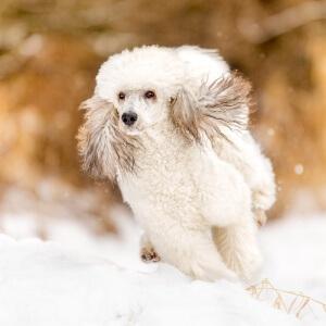 Königspudel rennt im Schnee