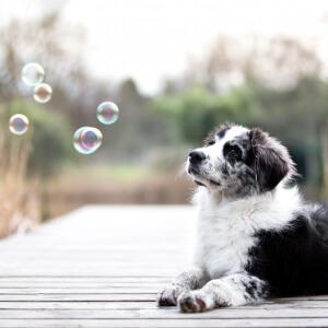 Border Collie Welpe spielt mit Seifenblasen