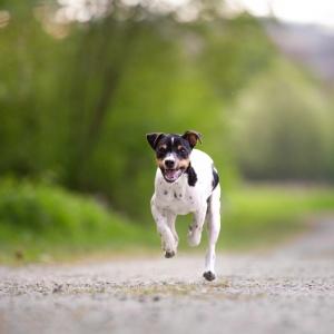 Wir haben Barny einen Brasilianischen Terrier beim Rennen fotografiert