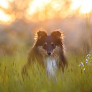 Sheltie Sunny im warmen Abendlicht fotografiert
