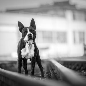 Schwarz Weiss Fotografie eines Amstaff-Boxer-Mischling