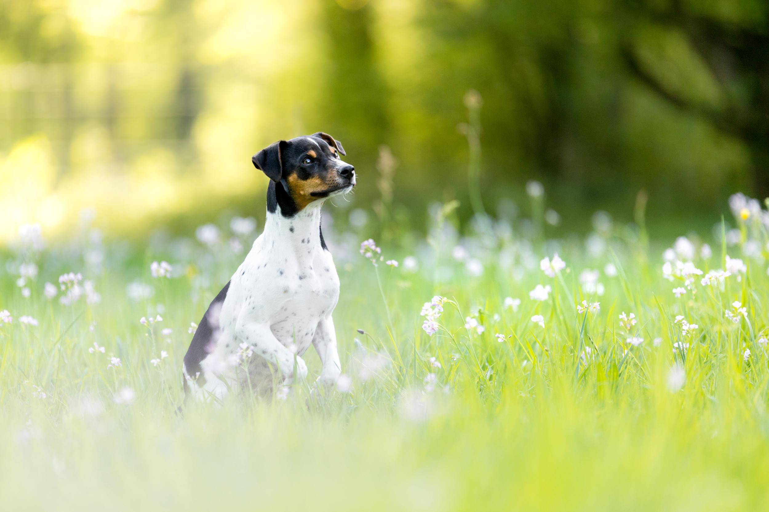 Ein Brasilianischer Terrier auf dem Sprung