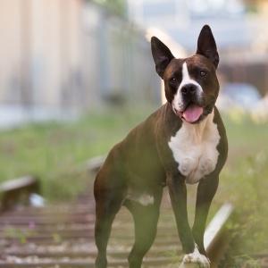 Hundefotografie Schweiz: Amstaff Brösmeli in einem Industriegebiet in Basel fotografiert