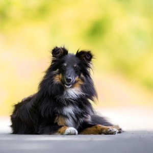 Hundefotografie Schweiz: Sheltie Fly im Portrait fotografiert
