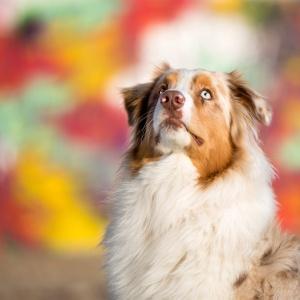 Tierfotografie: Fotoshooting mit Australian Shepherd Maylo