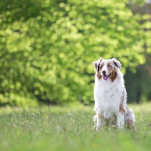 Hundefotografie in der Schweiz: Australian Shepherd Maylo auf einer saftig grünen Wiese
