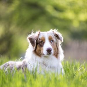 Australian Shepherd Rüde Maylo im Gras fotografiert
