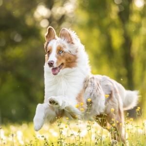 Hundefotografie Schweiz: Maylo rennt durchs hohe Gras
