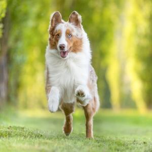 Australian Shepherd Maylo beim Sprint in Lörrach