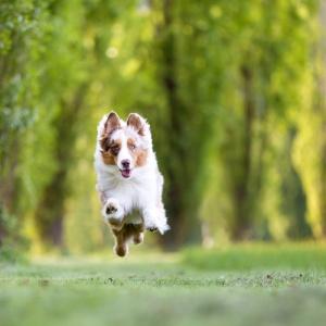 Australian Shepherd Maylo fliegt über eine Wiese