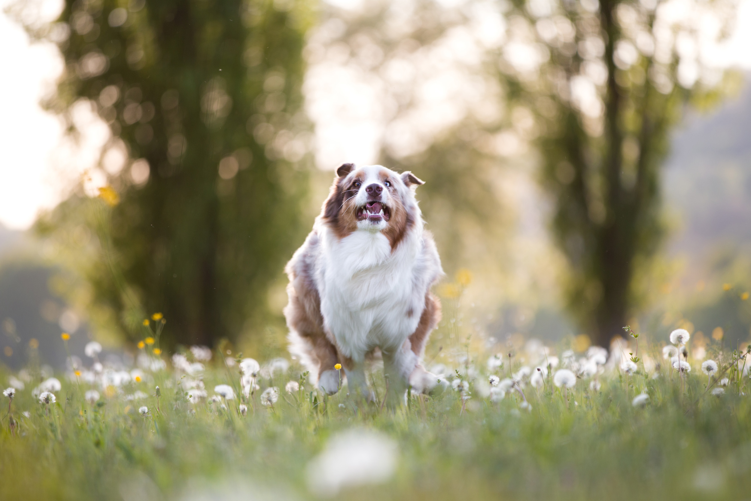 Maylo rennt wie ein Chaot durchs Pusteblumengras