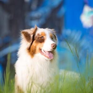 Tierfotografie in der Schweiz: Fotoshooting mit Australian Shepherd Maylo vor blauem Graffiti
