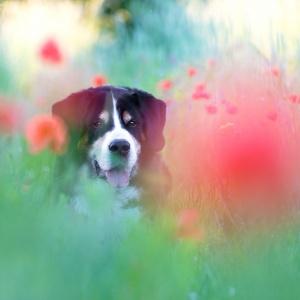 Hundefotografie Schweiz: Fotoshooting mit Berner Sennenmix Bobby im Mohnfeld