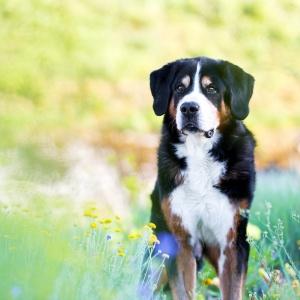 Hundefotografie Schweiz: Berner Sennenmix Bobby in einem Meer aus pastelligen Blumen