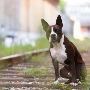 Hundefotografie in der Schweiz: Fotoshooting mit Amstaff-Mix auf einem Industriegelände in Basel
