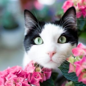 Tierfotografie rund um Basel: Katze Pepper blickt durch einen Hortensienbusch